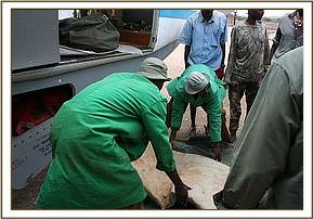 The keepers prepare the calf's matress for the flight