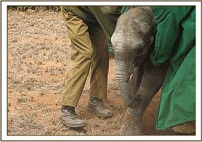 The calf is coaxed towards the airstrip in order to prepare him for the flight.
