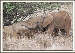 Tumaren lays her trunk on her mother