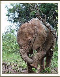Sweet Ngilai touching his foot with his trunk