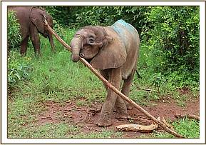 Ngilai playing with a stick