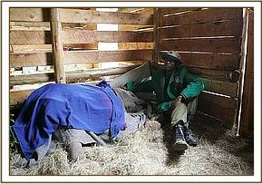 Sinya at the Nursery in her stable with Amos close at hand