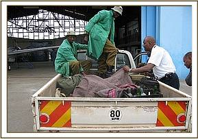 The Trust pickup collects the calf at  Wilson Airport  Nairobi