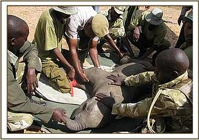 The calf is laid on the matress and canvas stretching in preperation for the journey to Nairobi.jpg