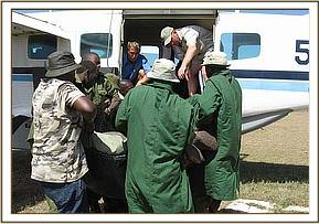 Loading the orphaned calf into the aeroplane at Olpejeta