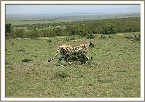 The cheetah running back into the bush