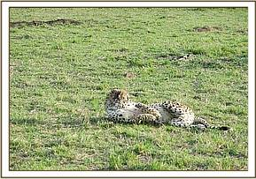 After sedating the cheetah