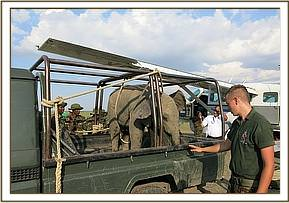 The elephant about to be loaded into the plane