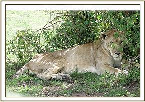 Lioness lying in the shade