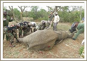 The elephant bull had multiple spear wounds