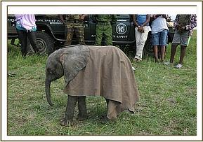 The little calf covered with a blanket before being flown to the Nairobi Nursery