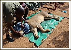 Lion had an amputated paw and was preying on community land