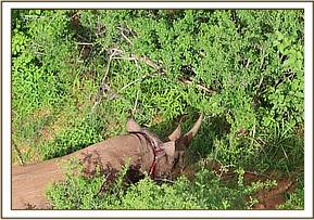 Rhino spotted with a snare