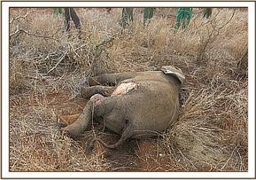 Elephant calf had been scavenged upon