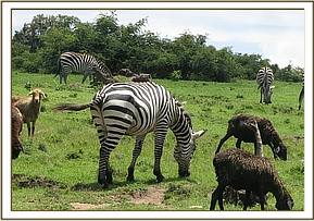 This male zebra was seen dragging a braided wire snare