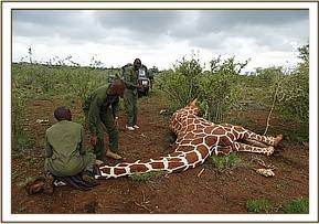 The giraffe was immobilized with 12mg Etorphine hcl and 40mg Azaperone tartarate