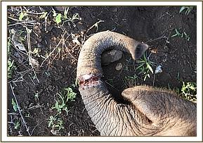 The wire snare was tightly tied around the trunk resulting in a deep wound