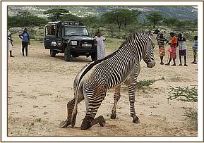 Due to extensive injuries the zebra was euthanized to relief pain and suffering.