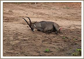 Waterbuck darted for treatment