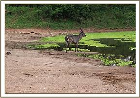 Waterbuck with a snare