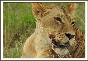 Lioness with growths on her face