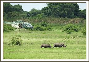 All the rhinos were darted from a helicopter using a Dan-inject rifle