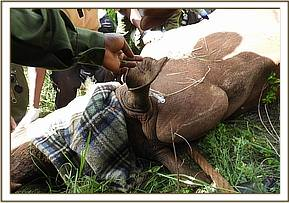 Two (2) black rhinos and fifteen (15) white rhinos were captured and ear notched in Meru national p