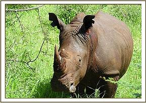 A predetermined pattern was excised on the ears of each of the anesthetized rhinos