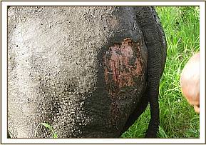 The rhino had deep cutaneous wounds on its right flank and left flank