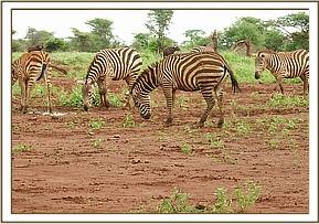 This adult female zebra was lame on its left hind limb with slight swelling around the pastern join