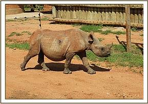 This hand raised blind black rhino was attacked by a territorial male black rhino