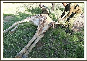 The vet team immobilized the giraffe to remove the dead fetus
