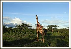 This giraffe is expected to regain its health progressively