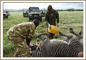 The vet darted the zebra from a vehicle