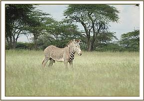 The adult male grevy zebra had survived a predator attack but sustained injuries