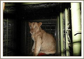 The lioness was darted and transported in a cage trap by road