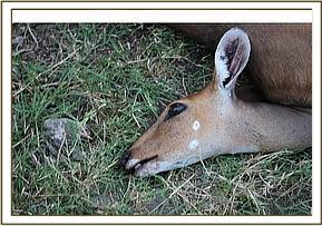 Possible anthrax infection of two bushbuck
