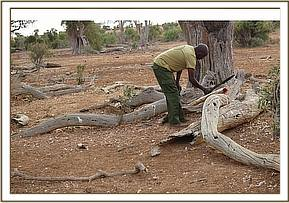 Tusks removed from the carcass and taken into KWS custody
