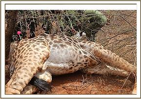 Giraffe darted again and snare removed