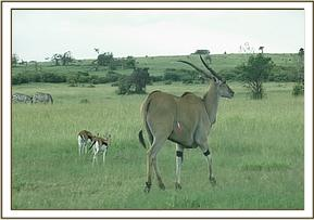 The vet darted the eland who took off snapping the longer portion of the snare