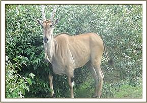Adult female eland seen dragging a long plain wire firmly attached to her left hind leg