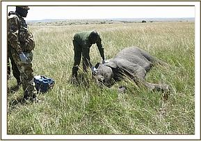 The KWS Vet checking the young bull
