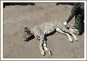 The male cheetah had bite wounds on his neck