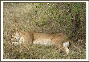 The lioness was found lying in a small thicket