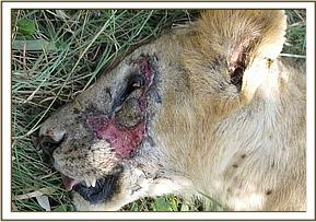The lion bore an injury on the left side of his face