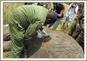 The KWS Vet working at removing the arrowhead
