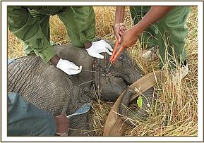 The Veterinary team working at cutting off the wire snare