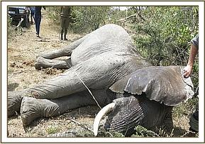 The elephant cow became fully anesthetised after ten minutes