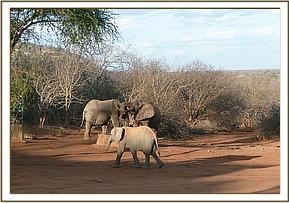 Olmalo with wild elephants