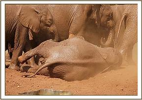 nursery elephants having a dust bath